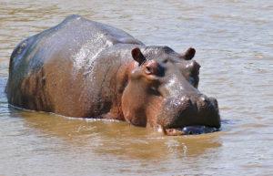Hippoweb